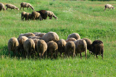 Herd of sheeps. On green pasture Royalty Free Stock Image