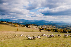 Herd of sheeps in the autumn mountains royalty free stock photos