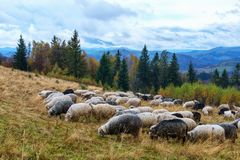 Herd of sheeps in autumn mountains. Royalty Free Stock Photos