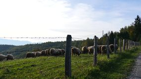 Herd of Sheeps stock footage