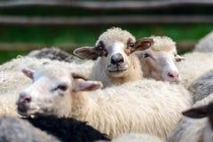 Herd of sheeps closeup Royalty Free Stock Image
