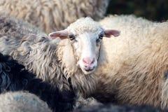 Herd of sheeps closeup Stock Photo