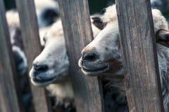 Herd of sheeps closeup Stock Photos