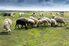Herd of sheeps in countryside Royalty Free Stock Photography