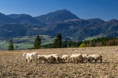 Herd of sheeps. On dry osil. Hill Choc at background royalty free stock image