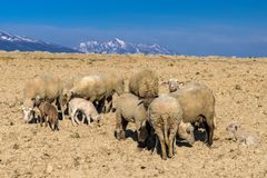Herd of sheeps. On dry osil. Mountains at background stock photos