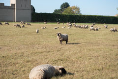 Herd of sheeps eating on a pasturage Royalty Free Stock Images