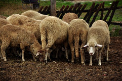 Herd of sheeps Royalty Free Stock Image
