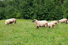 Herd of sheeps Stock Images