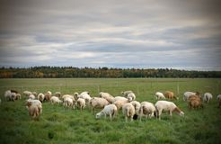Herd of Sheeps in a Field during Fall Season Stock Images