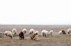 Herd of sheeps and goats Stock Photography