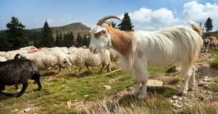 Herd of sheeps and goats in alps Royalty Free Stock Photography