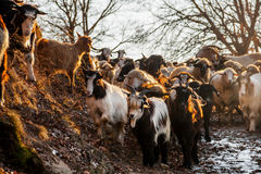 Herd of Sheeps and Goats at Sunset Royalty Free Stock Photo
