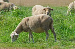 Herd of sheeps grazing in galicia Royalty Free Stock Photography