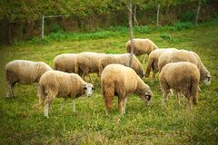 Herd of sheeps grazing in a meadow in the countryside royalty free stock photography