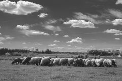 Herd of sheeps grazing on meadow. Herd of sheeps grazing in black and white on meadow with nice sky Stock Photos