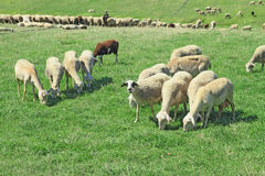 Herd of sheeps. In the greek countryside Royalty Free Stock Photos