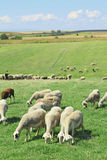 Herd of sheeps Royalty Free Stock Photos