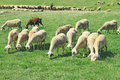 Herd of sheeps. In the greek countryside Stock Photography