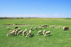 Herd of sheeps. In the greek countryside Stock Photo