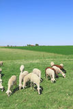 Herd of sheeps. In the greek countryside Royalty Free Stock Photo