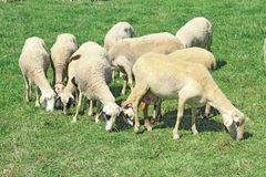 Herd of sheeps. In the greek countryside Stock Photos