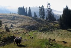 Herd of sheeps ina the morning in Bihor carst mountains in Apuseni in Romania Stock Images