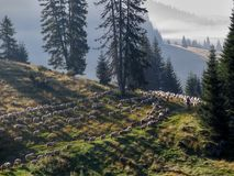 Herd of sheeps ina the morning in Bihor carst mountains in Apuseni in Romania Stock Photo