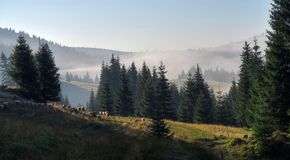 Herd of sheeps ina the morning in Bihor carst mountains in Romania Royalty Free Stock Photo