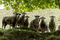 Herd of sheeps looking down Stock Images