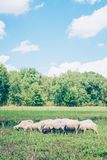Herd of sheeps in the meadow in the springtime Stock Photos