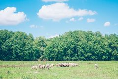 Herd of sheeps in the meadow in the springtime. Sunny day Royalty Free Stock Image