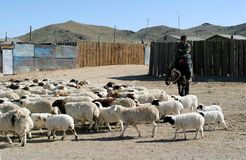 Herd of sheeps in Mongolia. A tanned nomadic man was taming herd of sheeps in Mongolia to cross a road. That is the daily life in Ulan Tar, Mongolia Royalty Free Stock Photography