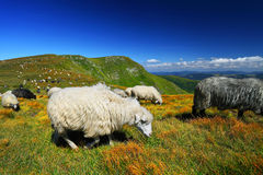 Herd of sheeps on mountain pasture Royalty Free Stock Photos