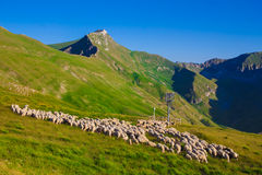 Herd of sheeps on the mountain Stock Image
