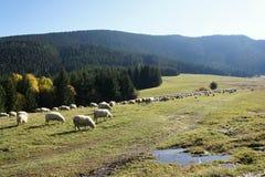 Herd of sheeps near Prosiecka valley, Liptov Royalty Free Stock Image