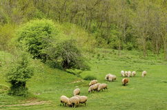 Herd sheeps pasture in the meadow Stock Photos