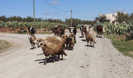 Herd of sheeps on the road Stock Photo