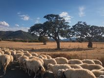 Herd of sheeps on a road in Sardinia. A herd of sheeps running along a road on the Italian island of Sardinia Royalty Free Stock Photography