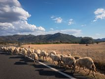 Herd of sheeps on a road in Sardinia. A herd of sheeps running along a road on the Italian island of Sardinia Royalty Free Stock Photo