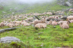 Herd of sheeps on the rocky terrain Royalty Free Stock Photos