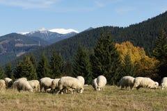 Herd of sheeps in Rohače mountains, Liptov Royalty Free Stock Photo