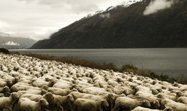Herd Of Sheeps In The Scenic View Of The Lake And Mountain Stock Photography
