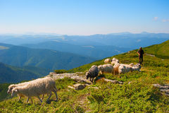 Herd of sheeps Royalty Free Stock Images