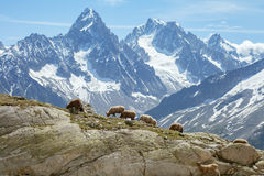 The herd of sheeps on slope Stock Image