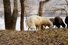 herd of sheeps in winter Stock Photo