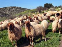 Herd and the shepherd. On hills in the spring Royalty Free Stock Image