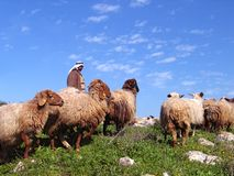 Herd and the shepherd. On hills in the spring royalty free stock photos