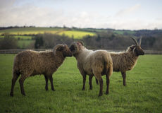 Herd of Shetland Sheep Royalty Free Stock Photography