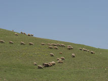 Herd of ships. Grazing the pasture in a traditional way Royalty Free Stock Photo
